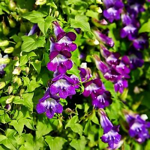 Image Is Loading Blue Purple Climbing Snapdragon Mexican Viper Maurandya Dragon