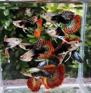 3 Pair Guppy Dumbo Mosaic Ribbon Live Fish Male Female Aquariums Guppies Pet Ebay