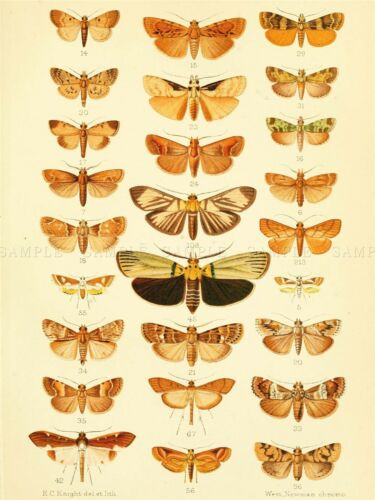 SCIENTIFIC ILLUSTRATION INSECTS MOTHS ART POSTER PRINT LV3854