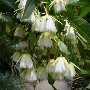 Elaeocarpus-Floribundus-Flowering-Tree-4-Seeds-Indian-Olive-Jolpai-USA