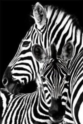 33773 ZEBRAS 24x36 SHRINK WRAPPED NATURE POSTER