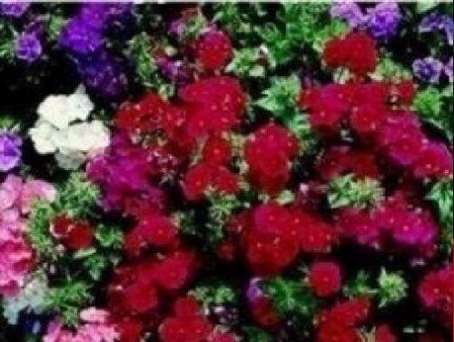 Fiore-Phlox-Extra nano Beauty Misto 1000 semi-pacchetto grande
