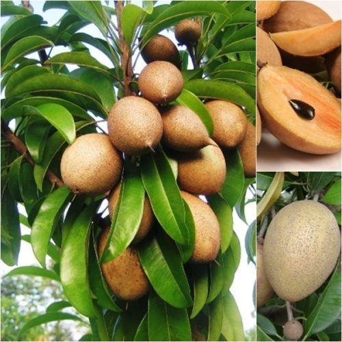 NEW!10-Seeds Manilkara-zapota-Sapodilla-Fruit-Seeds-Unique-Tropical-FroThailand