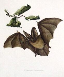Impression-Affiche-Histoire-Naturelle-l-039-Oreillard-Plecotus-auritus