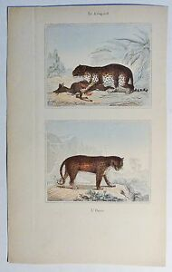 Leopard-Le-Leopard-antik-Kolor-Steindruck-Litho-um-1800-Buffon