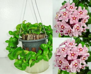 Sale Item Hoya Compacta Blooming Size 10 Inches Healthy Mature