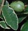 Variegated Thai Pink Guava 20 seeds