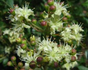 Lawsonia inermis Henna seeds grow your own henna 30 to 1000 seeds alba