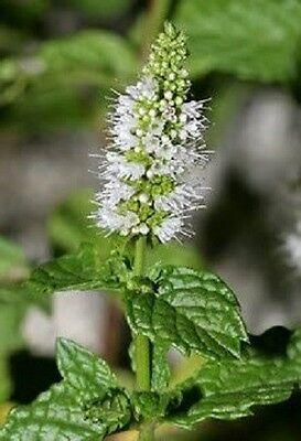 500 SPEARMINT English Mint Mentha Herb Flower Seeds