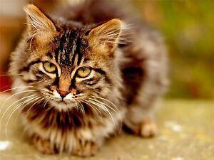 ART-PRINT-POSTER-PHOTO-ANIMAL-PORTRAIT-CAT-FACE-EYES-TABBY-COOL-LFMP0466