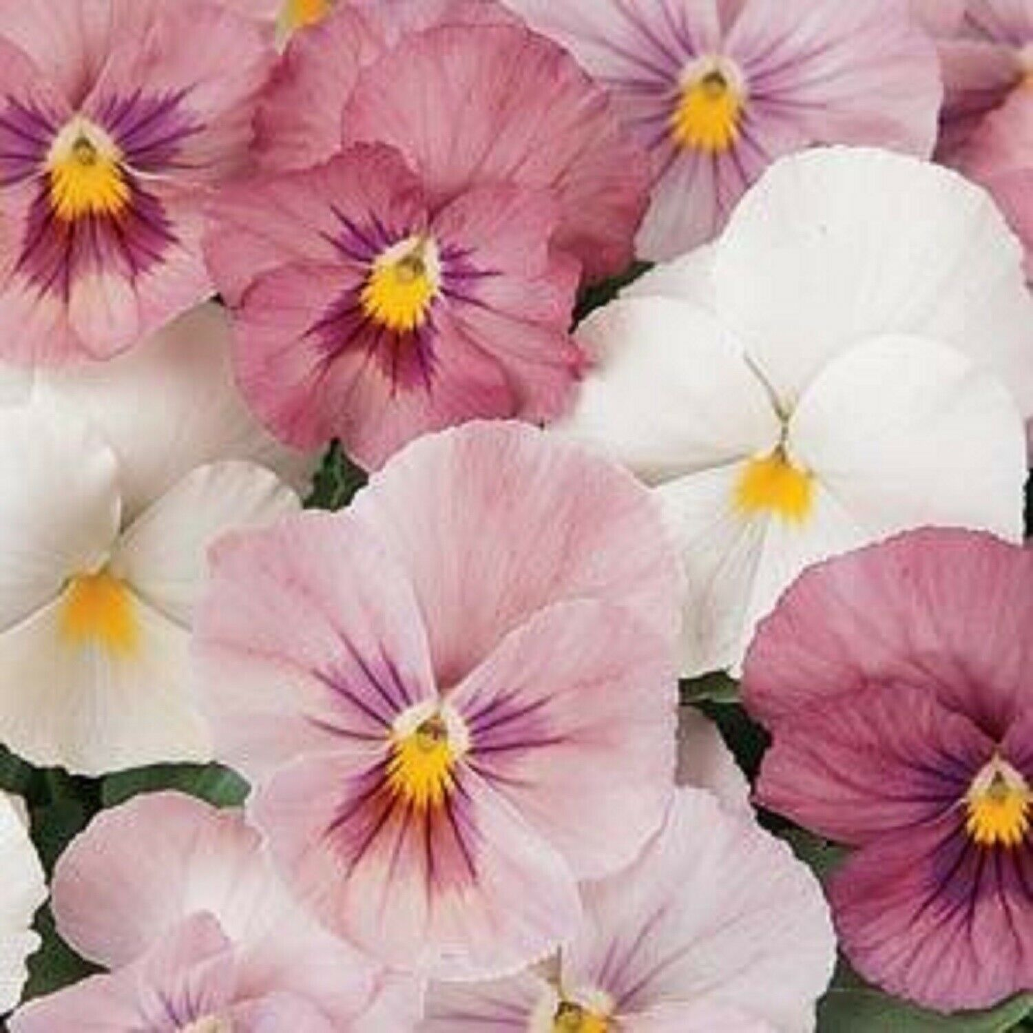 40 Winter Flowering Pansy Select F1 Pink Shades Basket Bedding Plug plants