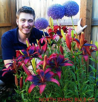 "TANGO LILY~RED & BLACK~FLOWER BULBS 42"" TALL HARDY PERENNIAL PLANTS HUMMINGBIRDS"