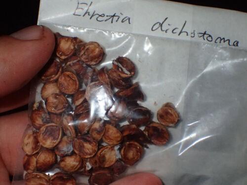 10 seeds Lokhande very rare small fruit tree Ehretia dichotoma