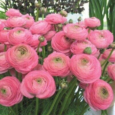 Ranunculus asiaticus Pink 20 flower bulbs
