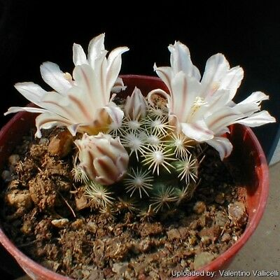 mammillaria microthele seeds 10 cactus korn graines samen