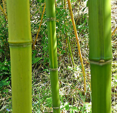 Bambus Hecke bambus collection on ebay