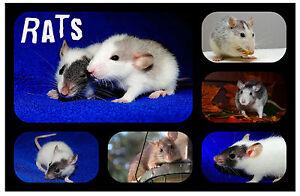 RATS - NOVELTY SOUVENIR FUN FRIDGE MAGNET - BRAND NEW - LITTLE GIFT / XMAS