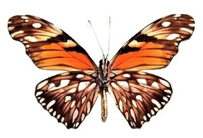 ONE REAL BUTTERFLY RED HAMADRYAS VERSO PERU UNMOUNTED WINGS CLOSED