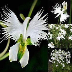 100-Japanese-Radiata-White-Egret-Orchid-Flower-Seed-Beautiful-Viable-Bonsai-Seed