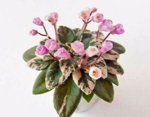 Precious Pixie 2 Blätter//2 leaves African Violet Usambaraveilchen