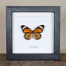 Common Tiger Butterfly in Box Frame (Danaus genutia)