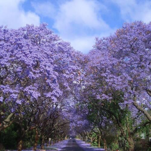 Jacaranda Mimosifolia Baum Samen// Blumensamen 20 Mehrjährig