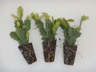 U Pick Any 2 Christmas Cactus//Schlumbergera Plants 115  Varieties to Choose From
