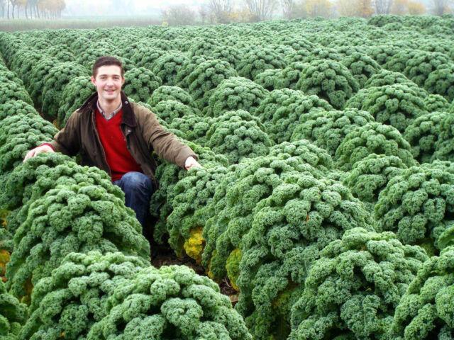 Seeds Cabbage Kustovaja Kale Bush Giant Vegetable Organic Russian Ukraine