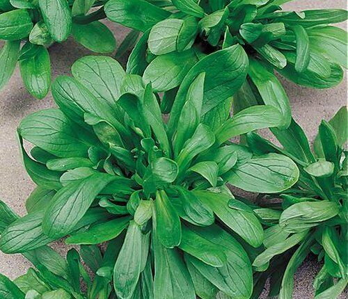 2000 SEMI di VALERIANA Songino Valerianella Locusta Insalata pianta aromatica