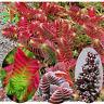 RARE CRASSULA Capitella Thyrsiflora 'Red Pagoda, sempervivum, Succulent plant
