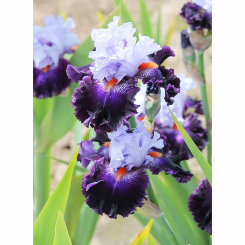 2 Purple Aztec Queen Iris Bulbs Roots Yard Garden Flower Seed Home Balcony Plant