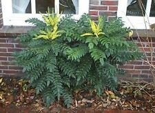 "MAHONIA x media Charity - Oregon Grape, Plant in 3.5"" Pot"