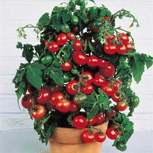 10 graines bio de tomate cerise tiny tim naine en pot precoce ebay. Black Bedroom Furniture Sets. Home Design Ideas