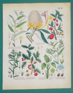 MEDICINAL-PLANTS-Banksia-CHerry-Dogwood-Holly-Alkanet-1845-H-C-COLOR-Print
