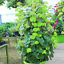100-Pcs-Climbing-Geranium-Seeds-Pelargonium-Plant-Bonsai-Perennial-Flower-Garden thumbnail 16