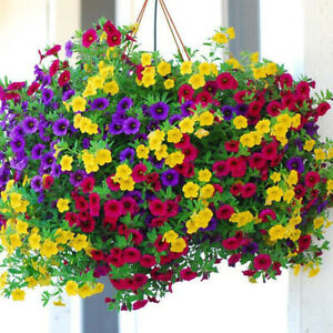 Petunia Nana Compacta Mixed Colour Seed Annua Dwarf Compact Plant Long Flowering