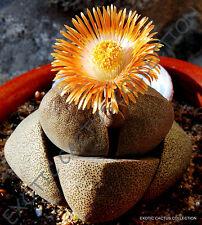 Pleiospilos Nelii rare succulent mesembs rock living stones cacti seed 100 SEEDS