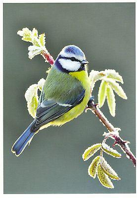 niedliche Blaumeise im Anflug auf einen Blütenzweig Blue tit Ansichtskarte