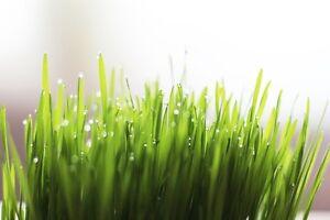 WHEATGRASS-250-seeds-Organic-SPROUTS-or-CATS-grass-seeds-Boondie-Seeds-garden