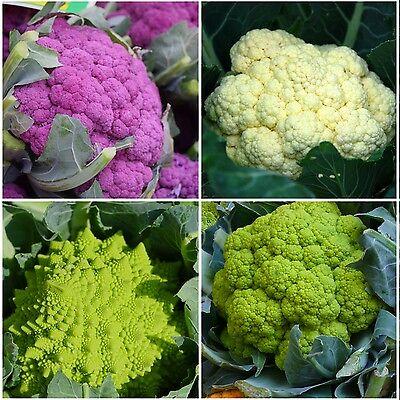 100 Samen Blumenkohl-Mischung violett grün weiß Romanesco bunte Vielfalt