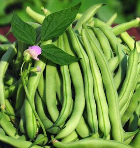 15+Tendergreen Improved Green Bush Bean seeds Stringless Bean Heavy producer USA