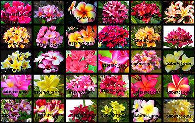 "NEW!Plumeria/Plants/Flowers/""Mixed 30 Types"" Fresh 200 Seeds"