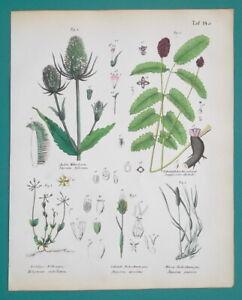 MEDICINAL-PLANTS-Great-Burnet-Wild-Teasel-Chickweed-1845-H-C-COLOR-Print