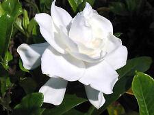 7 CUTTINGS HEIRLOOM GARDENIA BUSH CAPE JASMINE SHRUB LANDSCAPING STARTER PLANTS