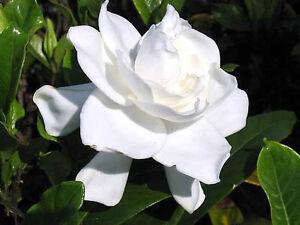 "HEIRLOOM GARDENIA BUSH 6"" WHITE FLOWERING CAPE JASMINE SHRUB ROOTED LIVE PLANTS"
