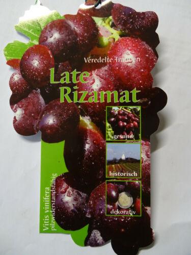 Vitis vinifera Late Rizamat Weinrebe Tafeltraube Wein Weintraube Winzersorte
