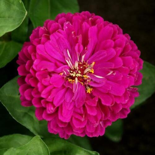 USA Purple Prince Zinnia 100-800 seeds Butterfly Gardening
