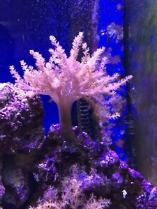 Kenya Tree Coral Soft Capnella Sp Marine Tank 3 Pieces For The