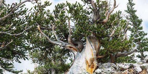 5 x Bristlecone Pine Seeds Pinus Aristata