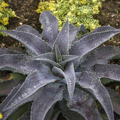 """/""""Speckles /& Freckles/"""" Mangave STARTER Plant Agave//Manfreda Hybrid Great COLORS!"""